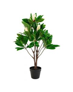 Magnoliatræ - 90cm